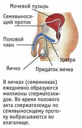 muzhskie-polovie-organi-smotret